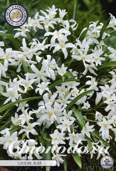 Vårstjärna, Chinodoxa L. Alba, 20 st./förpack.