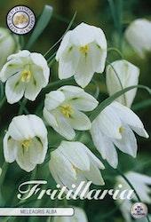"""Kungsängslilja, Fritillaria Melae. """"Alba"""", 10 st./förpack."""