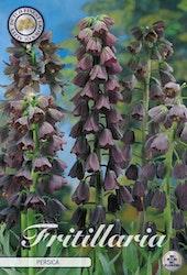 Klocklilja, Fritillaria Persica, 1 st./förpack.