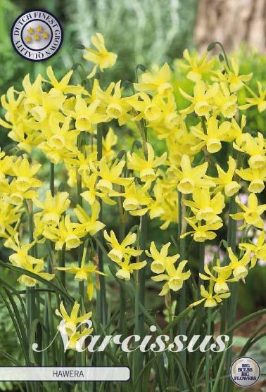 "Narcissus ""Hawera"", 10 st./förpack."
