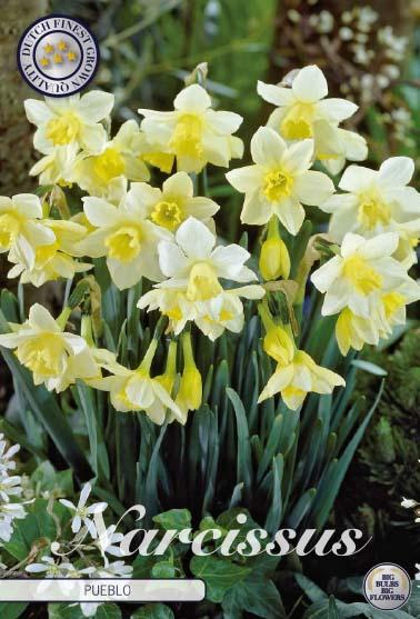 """Narcissus """"Pueblo"""", 7 st./förpack."""