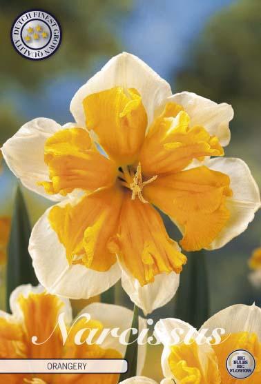 "Narcissus Splitcrown ""Orangery"", 5 st./förpack."