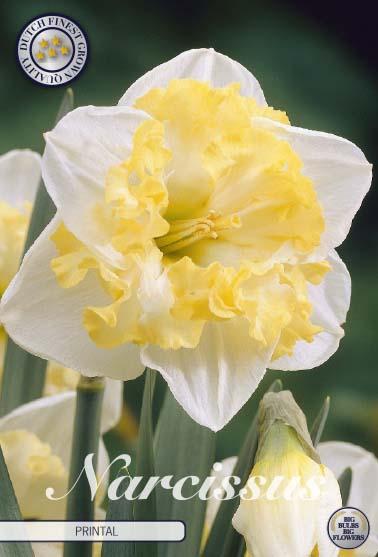 "Narcissus Splitcrown ""Printal"", 5 st./förpack."