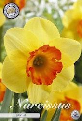 """Narcissus Trumpet """"Bantam"""", 5 st./förpack."""