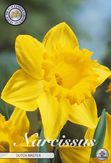 """Narcissus Trumpet """"Dutch Master"""", 5 st./förpack."""