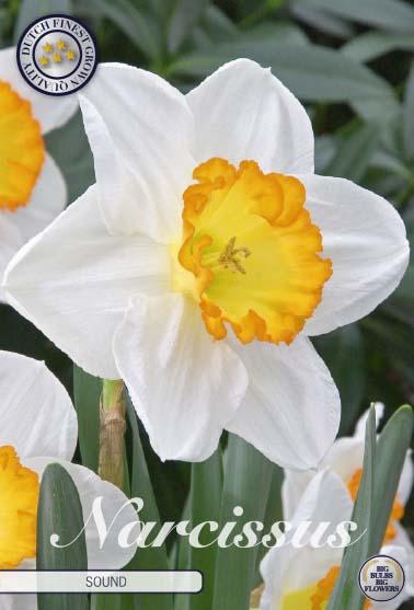 """Narcissus Trumpet """"Sound"""", 5 st./förpack."""