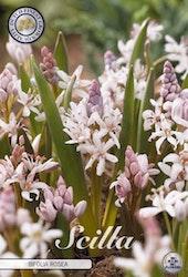 """Blåstjärna, Scilla Bifolia """"Rosea"""", 10 st./förpack."""