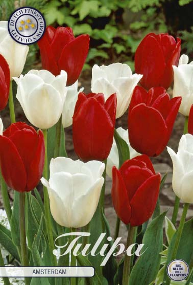 "Tulipan ""Amsterdam"", 10 st./förpack."