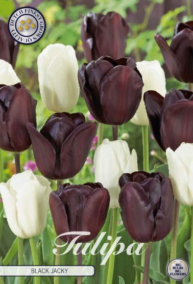 "Tulipan ""Black Jacky"", 10 st./förpack."
