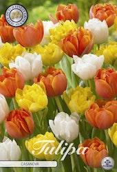 """Tulipan """"Casanova"""", 10 st./förpack."""