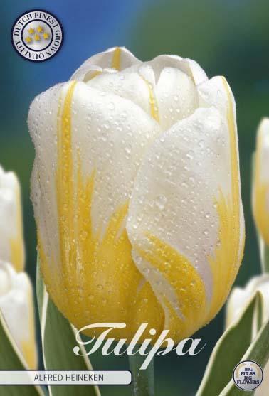 "Tulipan Darwin ""Alfred Heineken"", 10 st./förpack."