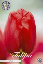 "Tulipan Darwin ""Parade"", 10 st./förpack."