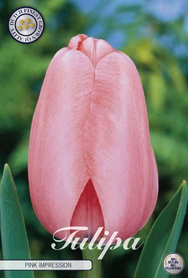 "Tulipan Darwin ""Pink Impression"", 10 st./förpack."