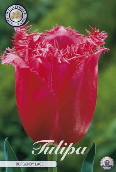 "Tulpan ""Burgundy Lace"", 7 st./förpack."