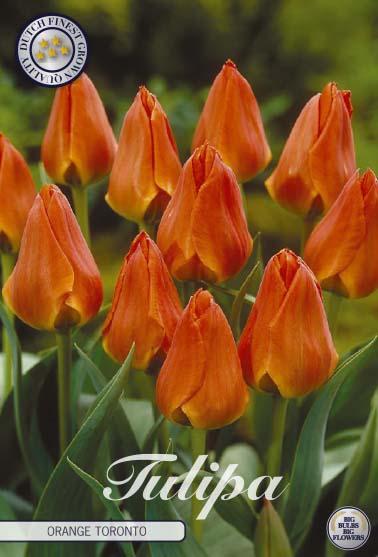 "Tulpan ""Orange Toronto"", 10 st./förpack."