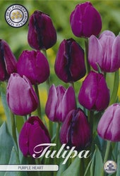 """Tulpan """"Purple Heart"""", 10 st./förpack."""