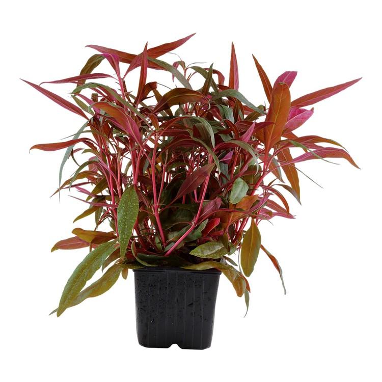 Alternanthera reineckii Pink (Papegojblad)