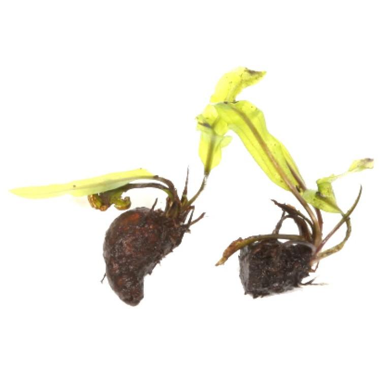 Aponogeton longiplumulosus