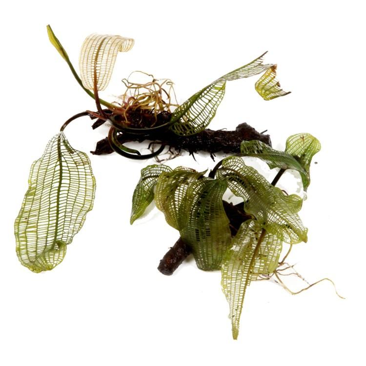 Aponogeton madagascariensis (Gallerblad)