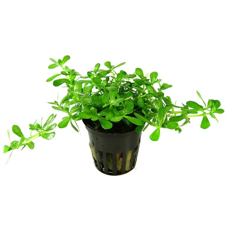 Bacopa monnieri Compact (Kompakt tjockbladsväxt)