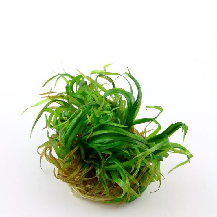 Blyxa japonica (Japonicagräs)
