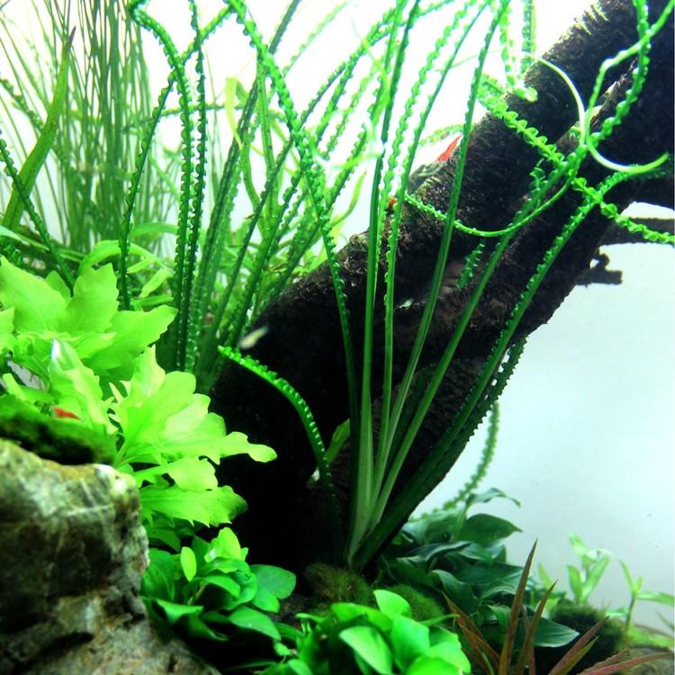 Crinum calamistratum (Afrikansk lökväxt, smalbladig crinum)