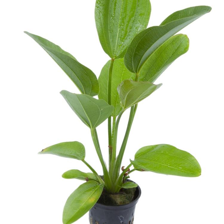 Echinodorus Aquartica (Svärdplanta)