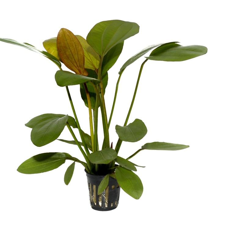 Echinodorus Barthii (Svärdplanta)