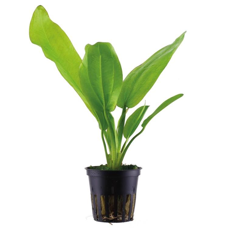 Echinodorus cordifolius Fluitans (Svärdplanta)
