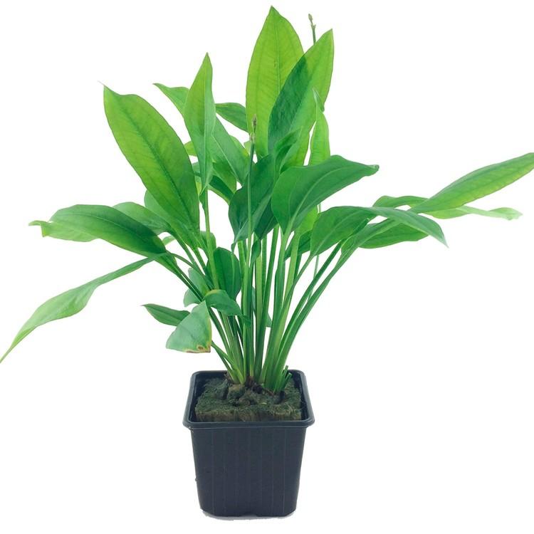Echinodorus grisebachii Bleherae (Paniculatus svärdplanta)