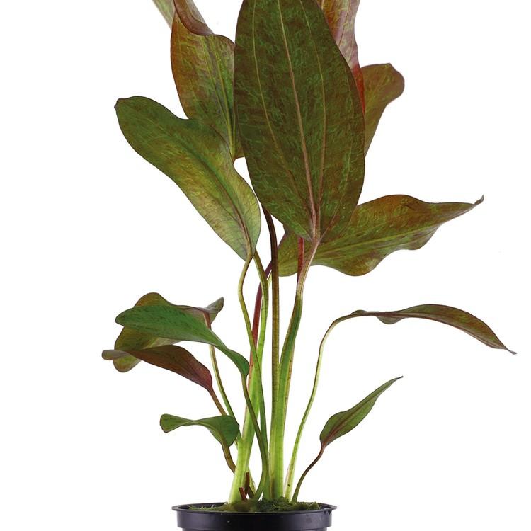 Echinodorus Ozelot (Svärdplanta)