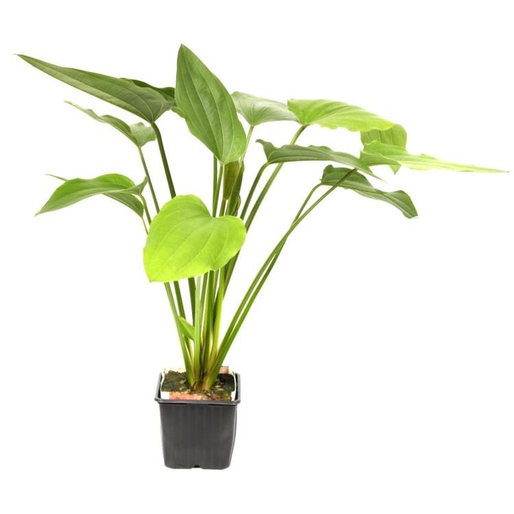 Echinodorus palifolius (Svärdplanta)