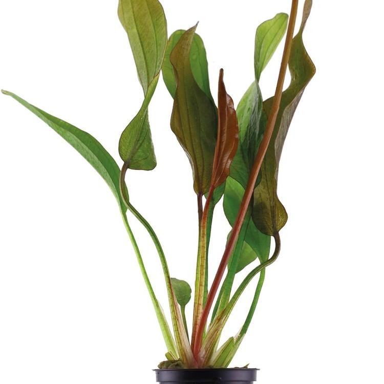 Echinodorus Red Diamond (Svärdplanta)