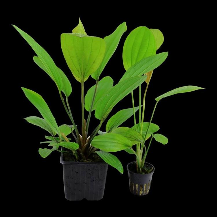 Echinodorus Rosé (Svärdplanta)