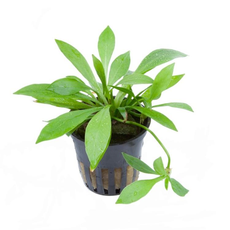 Helanthium bolivianum Quadricostatus