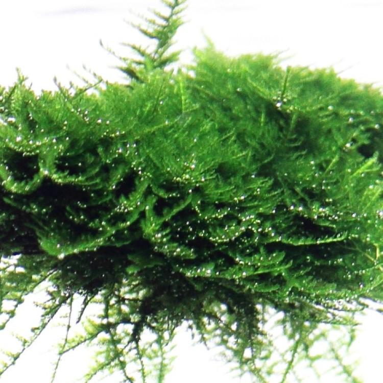 Vesicularia dubyana/montagnei Christmas (Javamossa)