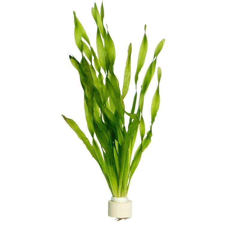 Vallisneria americana Asiatica (Fem pack)