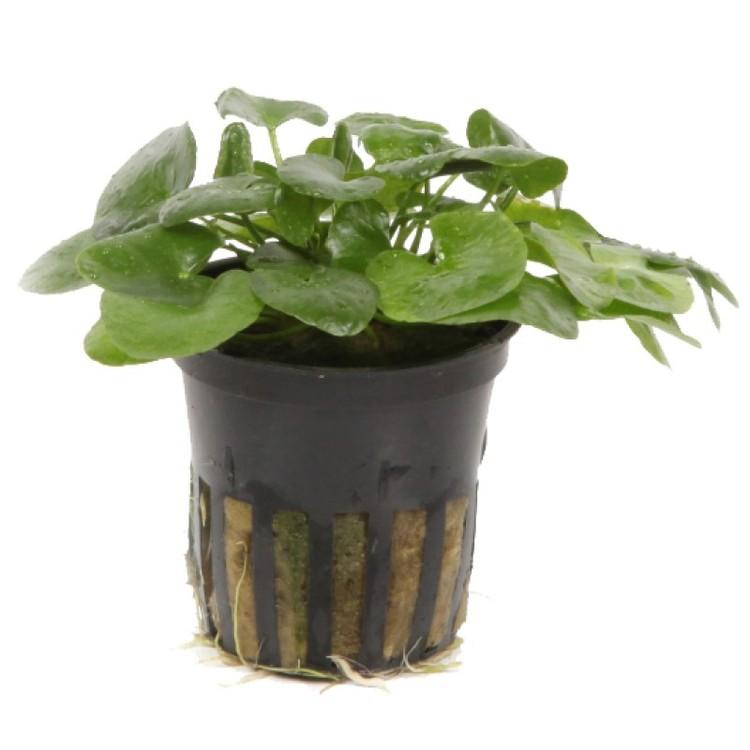 Nymphoides hydrophylla Taiwan