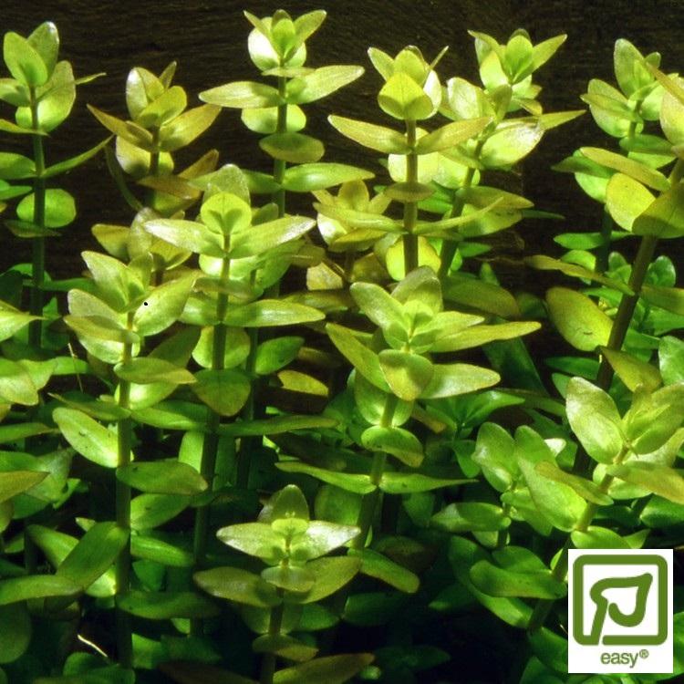 Bacopa caroliniana (Tjockblad)