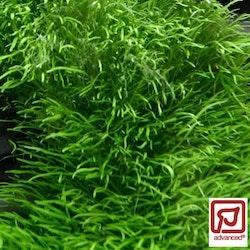 Utricularia graminifolia (Köttätande vattenbläddra)