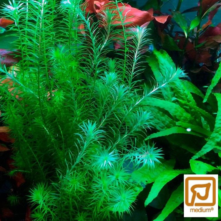 Mayaca fluviatilis (fem buntar)