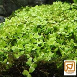 Micranthemum tweediei Monte Carlo