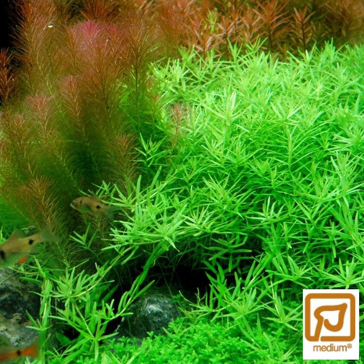 Rotala Rotundifolia Green