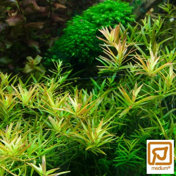 Rotala rotundifolia H'ra