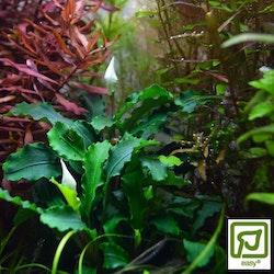 Bucephalandra pygmaea Wavy Green