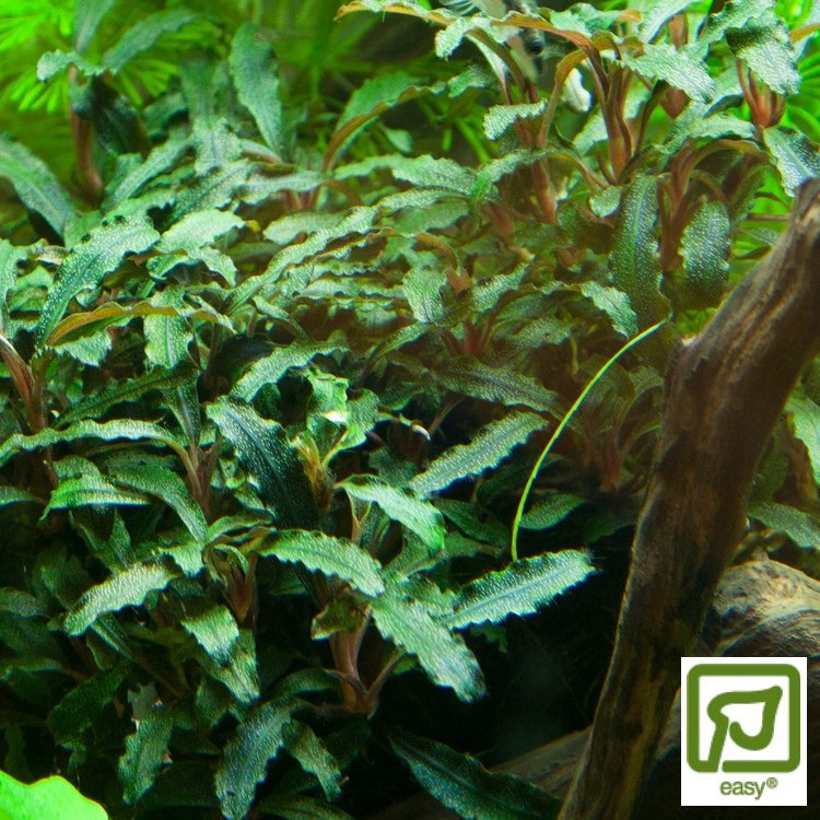 Bucephalandra sp. Red