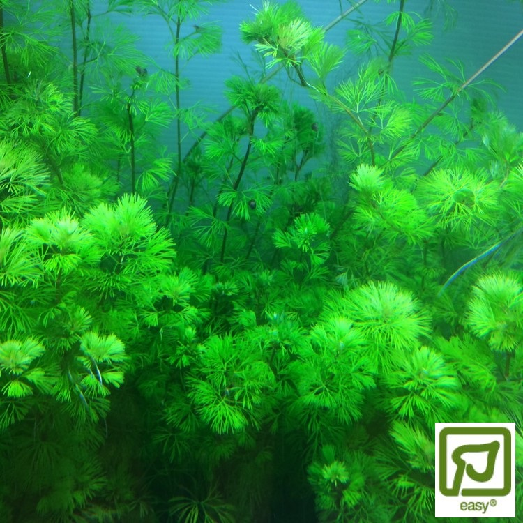 Cabomba aquatica (fem buntar)