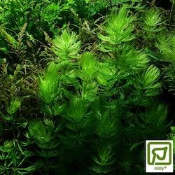 Ceratophyllum demersum Foxtail (Hornsärv)