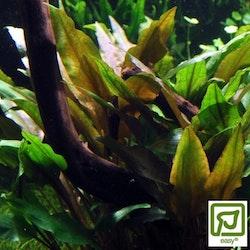 Cryptocoryne undulata Broad Leaves