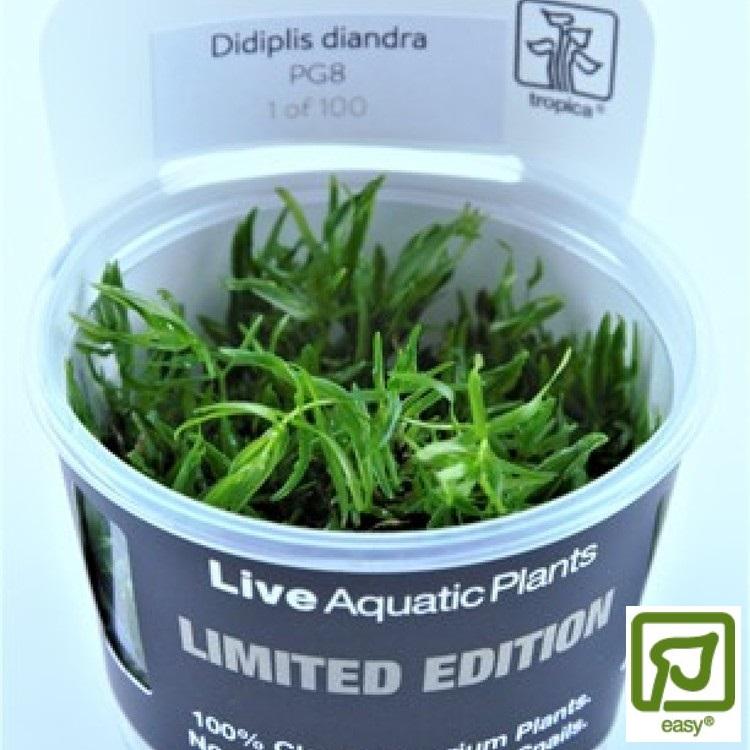 Didiplis Diandra Limited edition